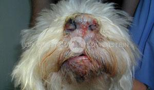 Abb. 3: Pigmentverlust an Nase und Lefzen